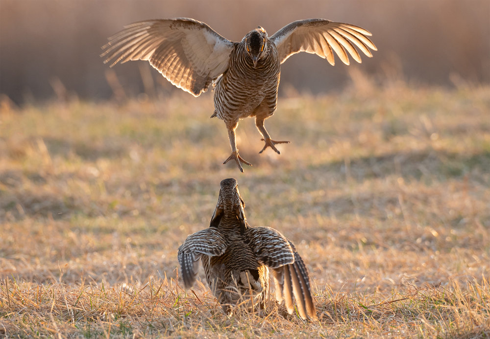 PrairieChicken_LEV2929-Edit.jpg