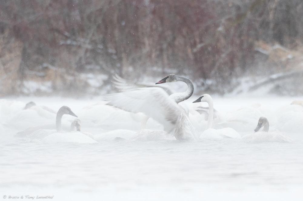Swan Rousing - January, 2018