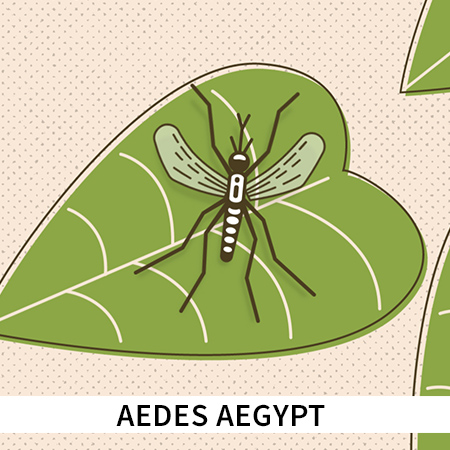 aedes-thumb.jpg
