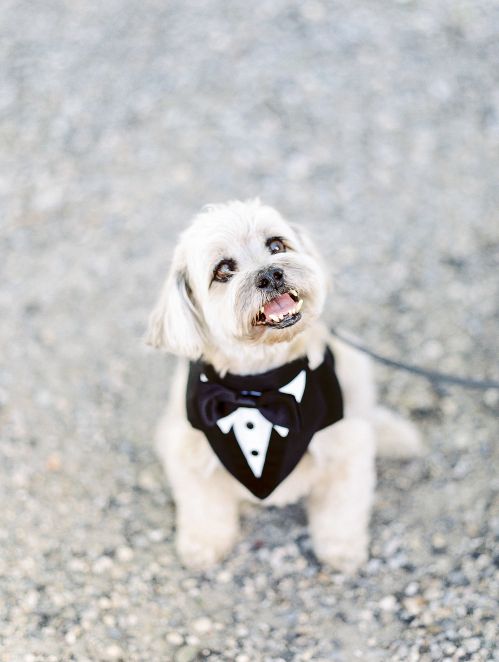 Manchester Vermont Wedding Dog in Tux