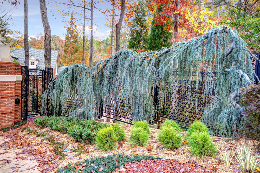 weeping atlas blue cedar and pedestrian gate.jpg
