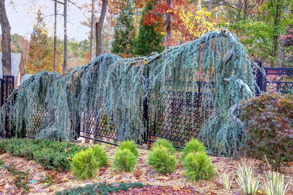weeping atlas blue cedar and fence.jpg