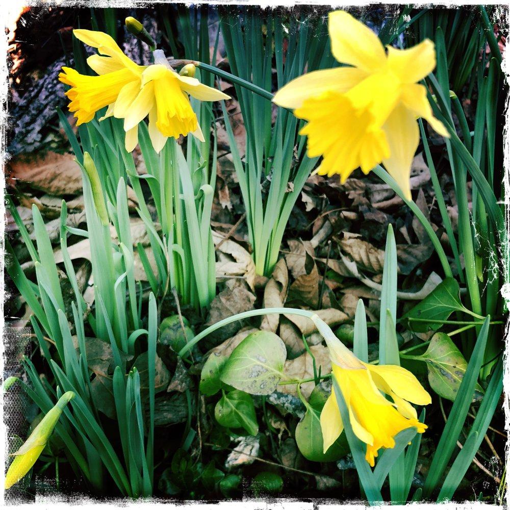 EHN Huber Daffodil 1.JPG