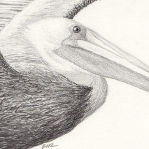 Pelican 6-14-11.jpg