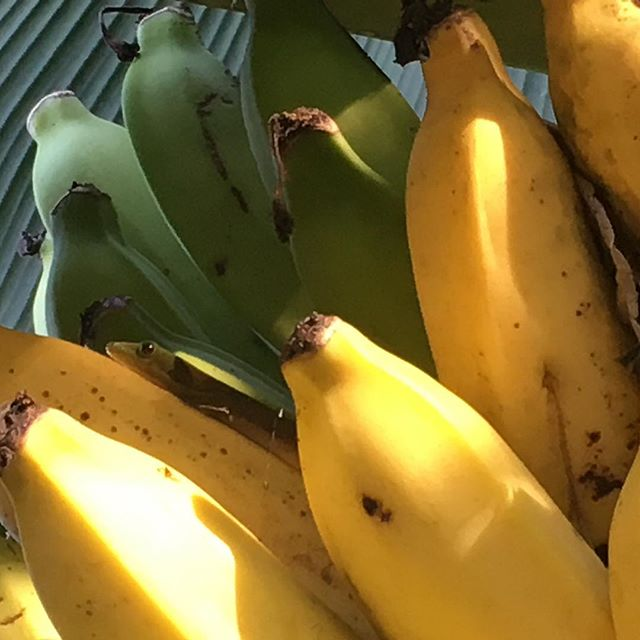 thinking caramel with bananas today #banana #hawaii #farmtotable #gecko #tropicalhouse #yummysnack #baking #foodie #local