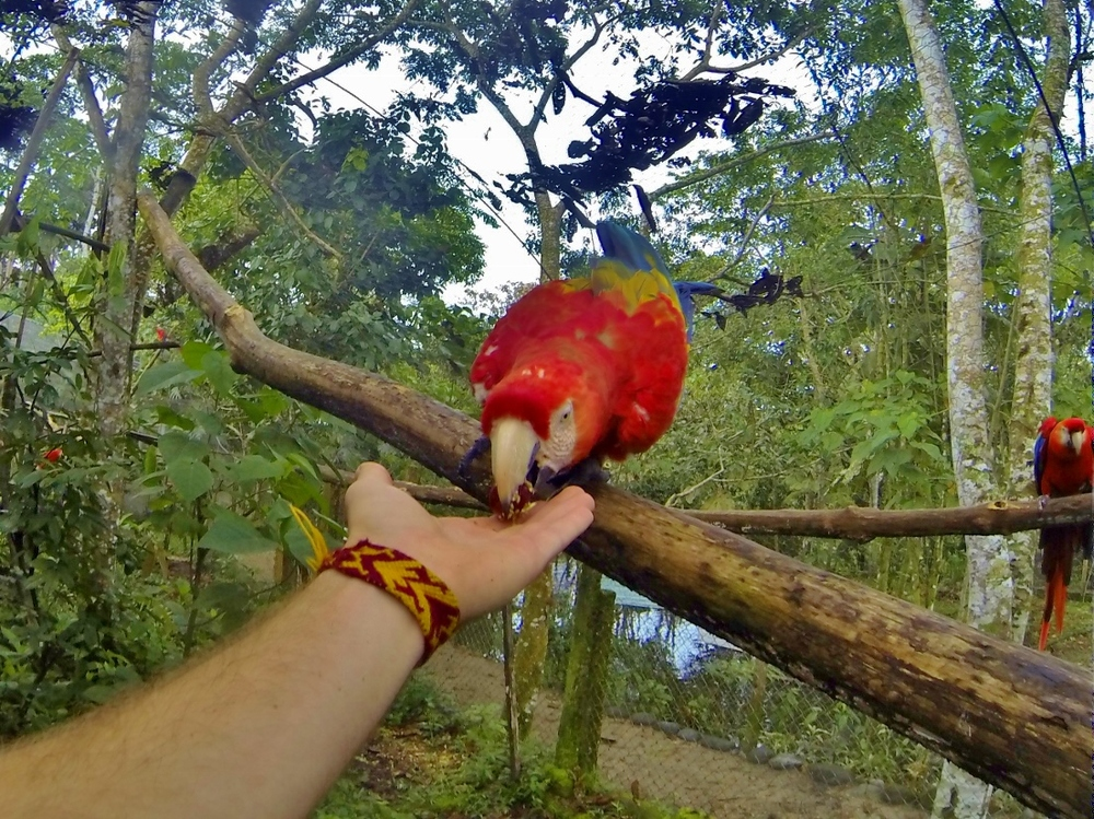 Guacamaya (Scarlet Macaw)
