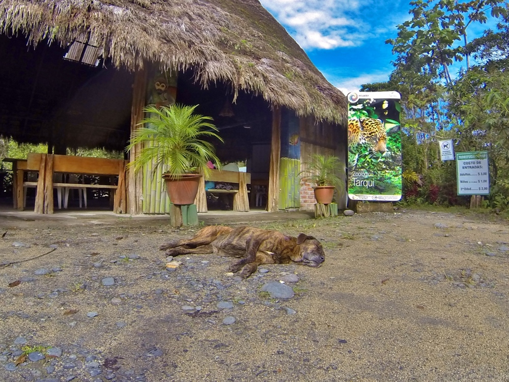 Fifi, chairwoman of Zoorefugio Tarqui's customer relations department, takes a nap in front of La Choza