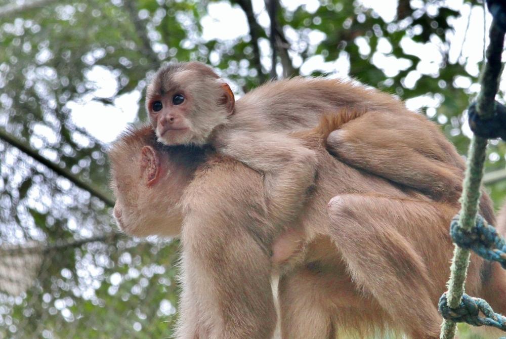 Capuchin4 (1024x686).jpg