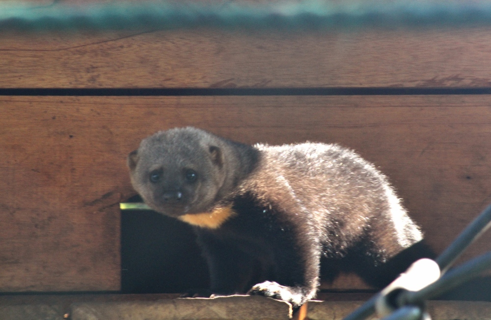 The Tayra kit, almost two-months-old at the time of this pic