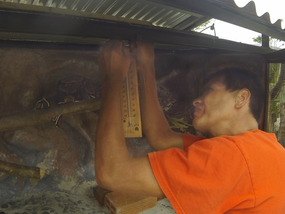 William works on the Boa Constrictor exhibit, with its resident just inches away