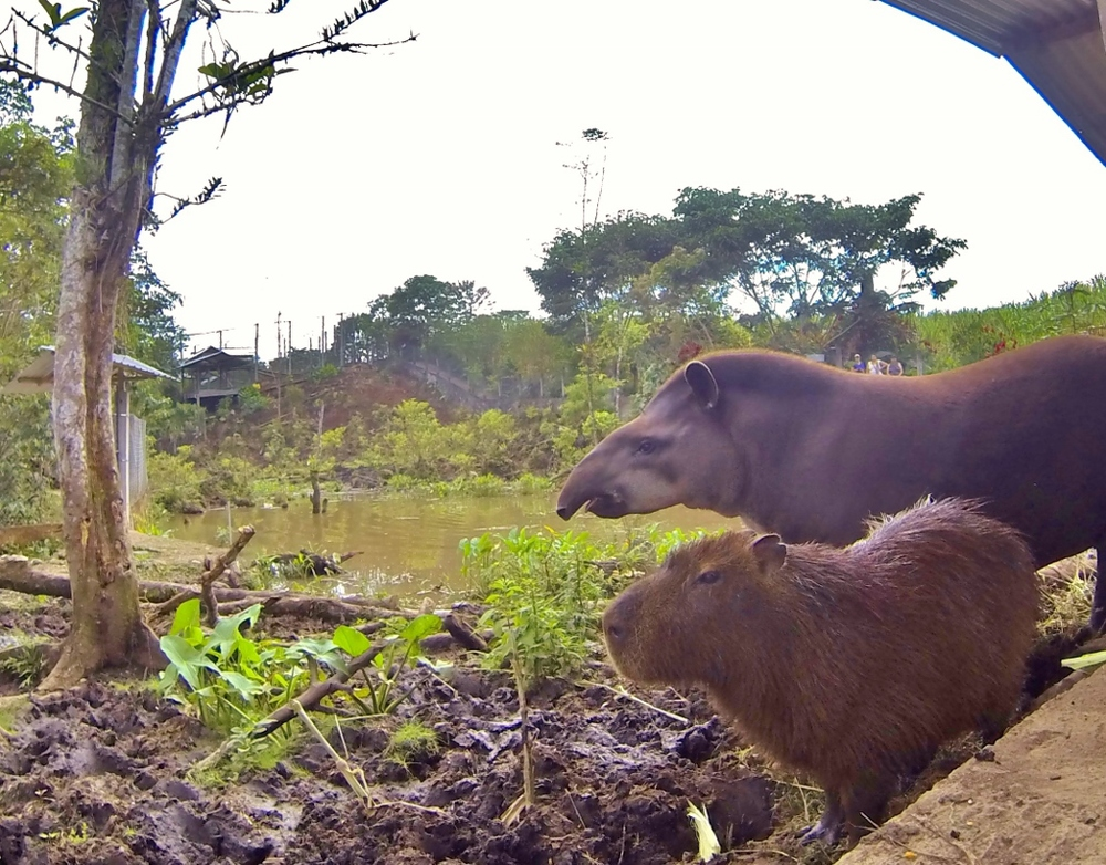 Roommates (Tapir and Capybara)