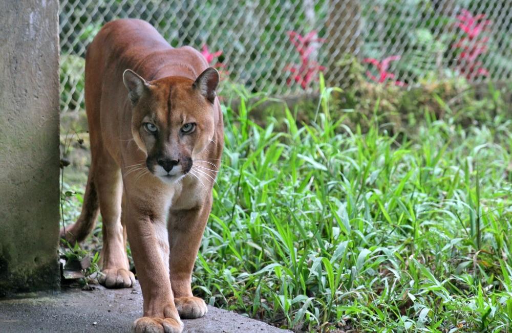 Ranger the Puma