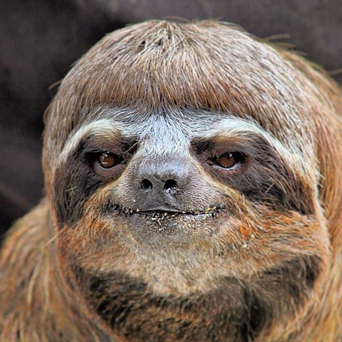 Retrato del Perezoso de la Amazonia (Amazonia Sloth Portrait) #tbt