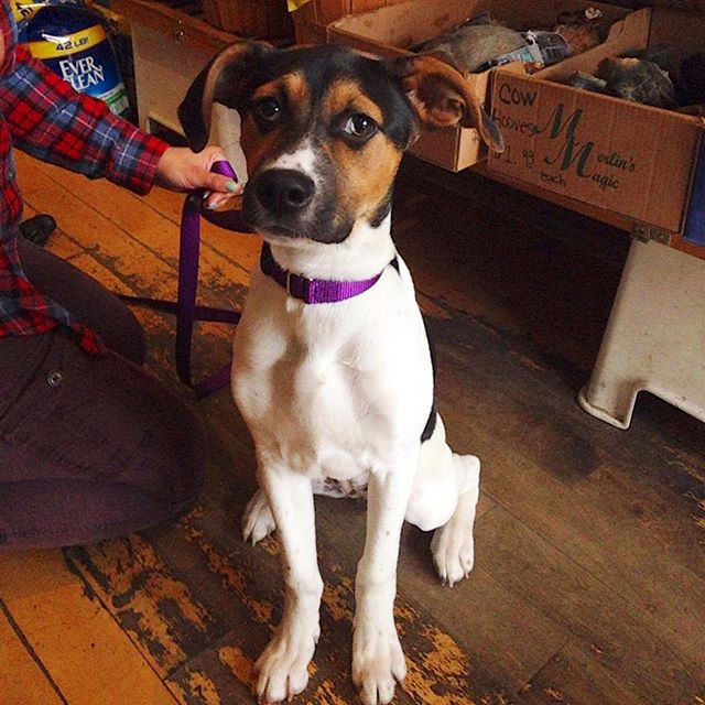 Puppy Abbi came in today and showed off her skills for some treats. She's learning sit very well! How cute is she? #muddypawsny #brooklyndogs #ilovemydogs #puppylove