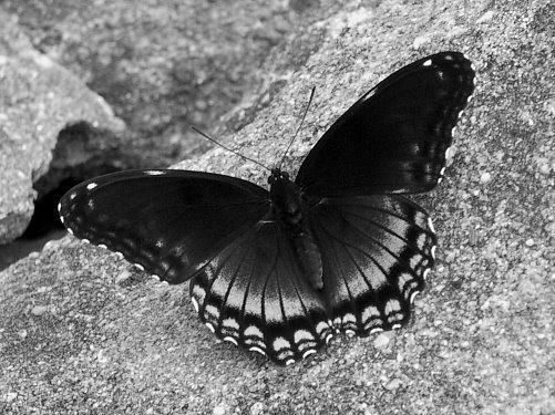 b&w-butterfly-771593