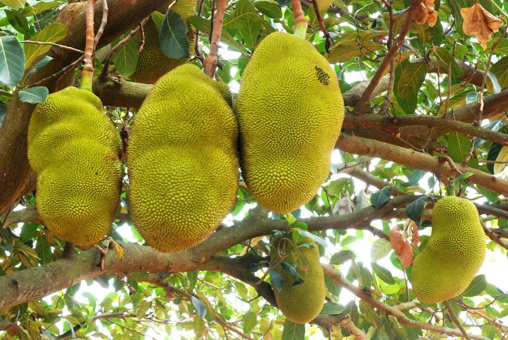 Jackfruit on a Tree - Global Village Fruits.JPG