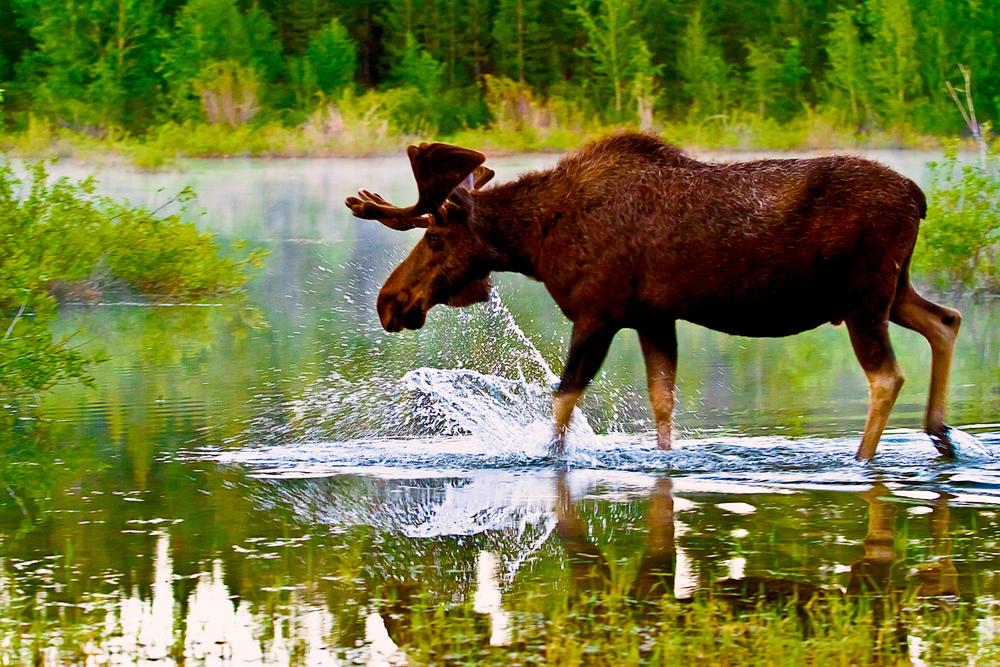 swampmoose3-sm.jpg