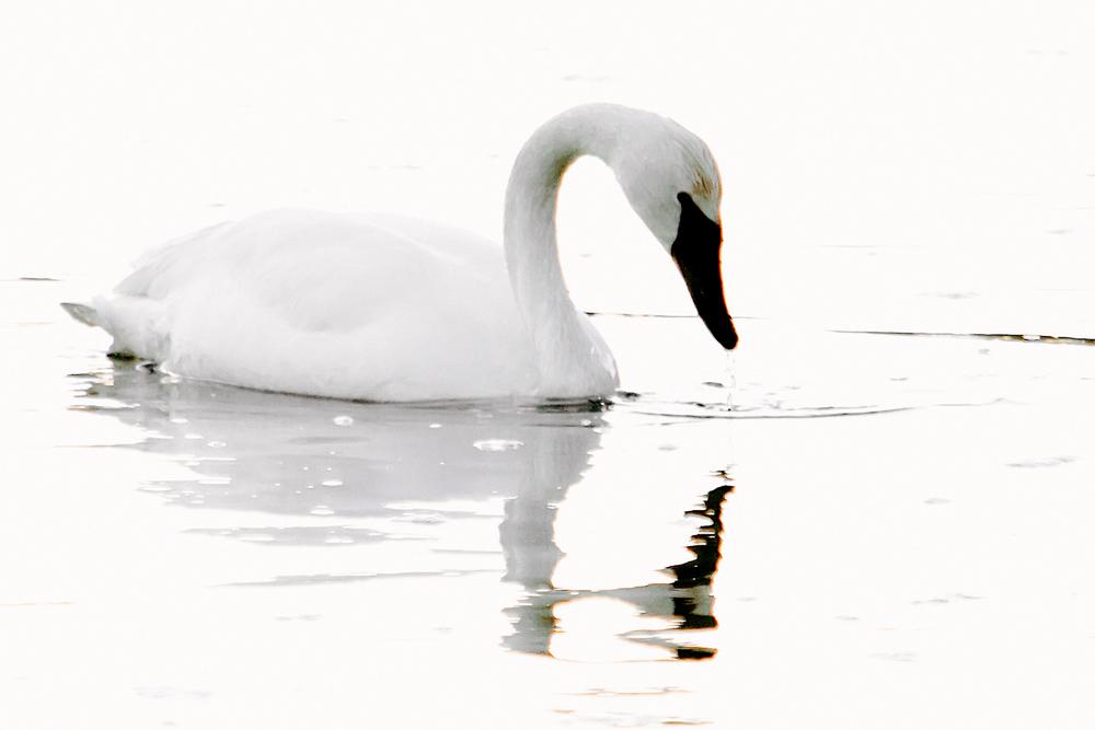 swan3a-sm.jpg
