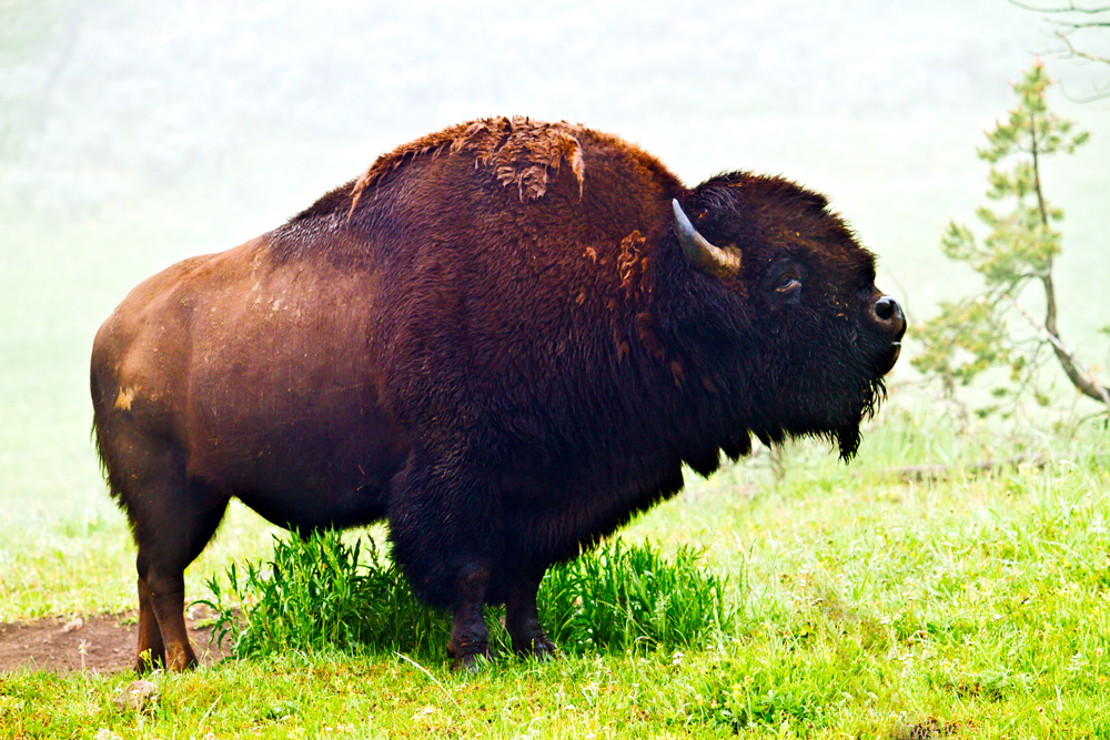 Buffalo near Canyon in Yellowstone
