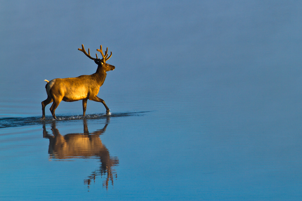 Elk in the floodplain of the Yellowstone River