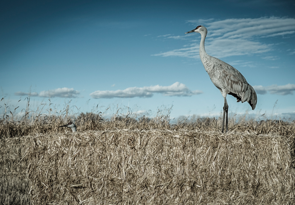 A Sandhill Crane takes in the afternoon sun