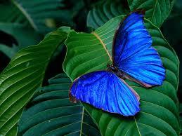 blue butterfly2 12715.jpg