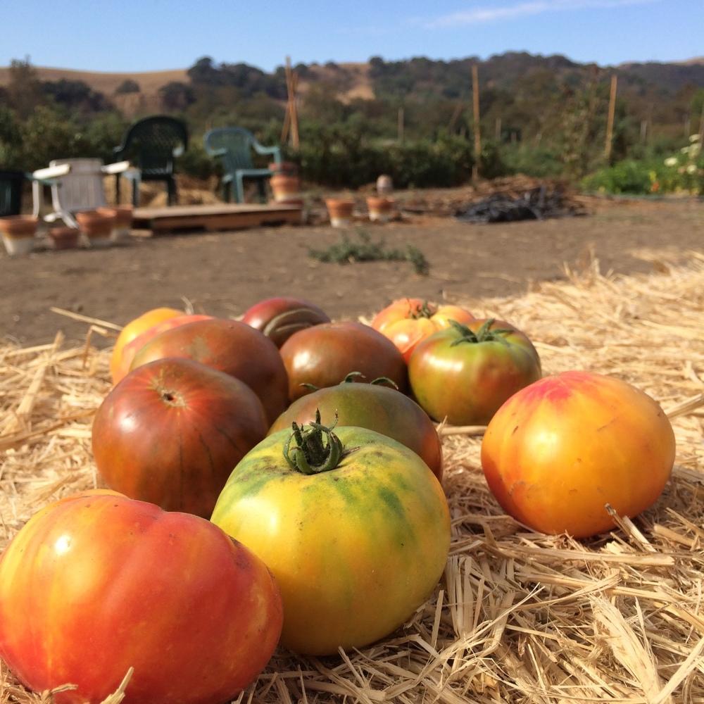 Heirloom tomatoes @ Happy Acre Farm.jpg