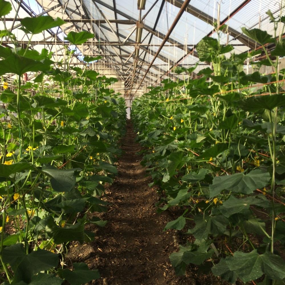 Specialty Japanese vegetables at Hikari Farm, Watsonville