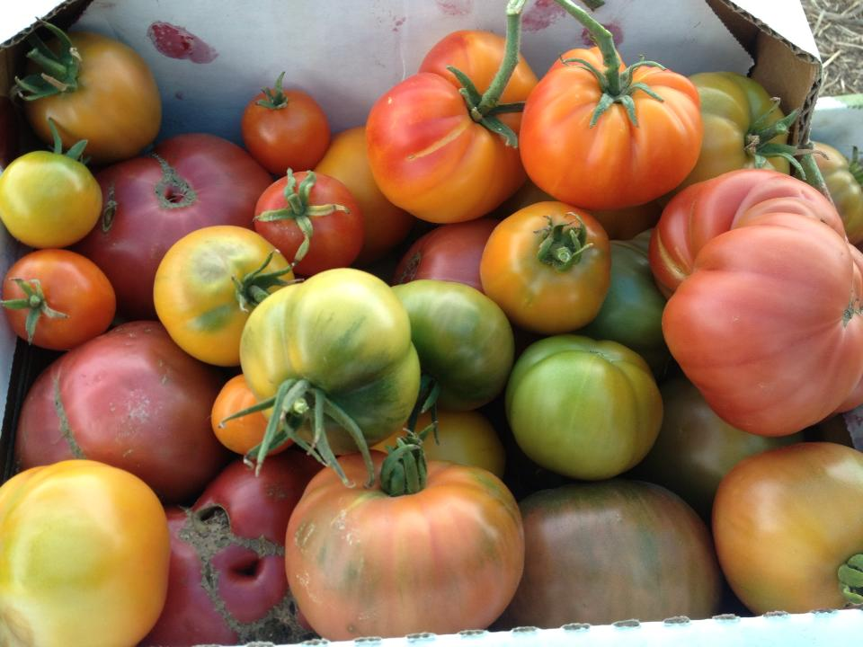 Oya Tomatoes.jpg