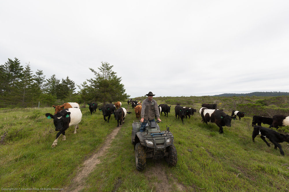 Erik wrangles half of their herd, guiding them to a new pasture as they rotate their cattle. When Erik and Doniga further expanded upon his family's traditional ranching practices, another aspect of the transition included a greater use of technology. Because of the size of their property and herds, the Markegards work their cattle with the help of UTVs and ATVs.