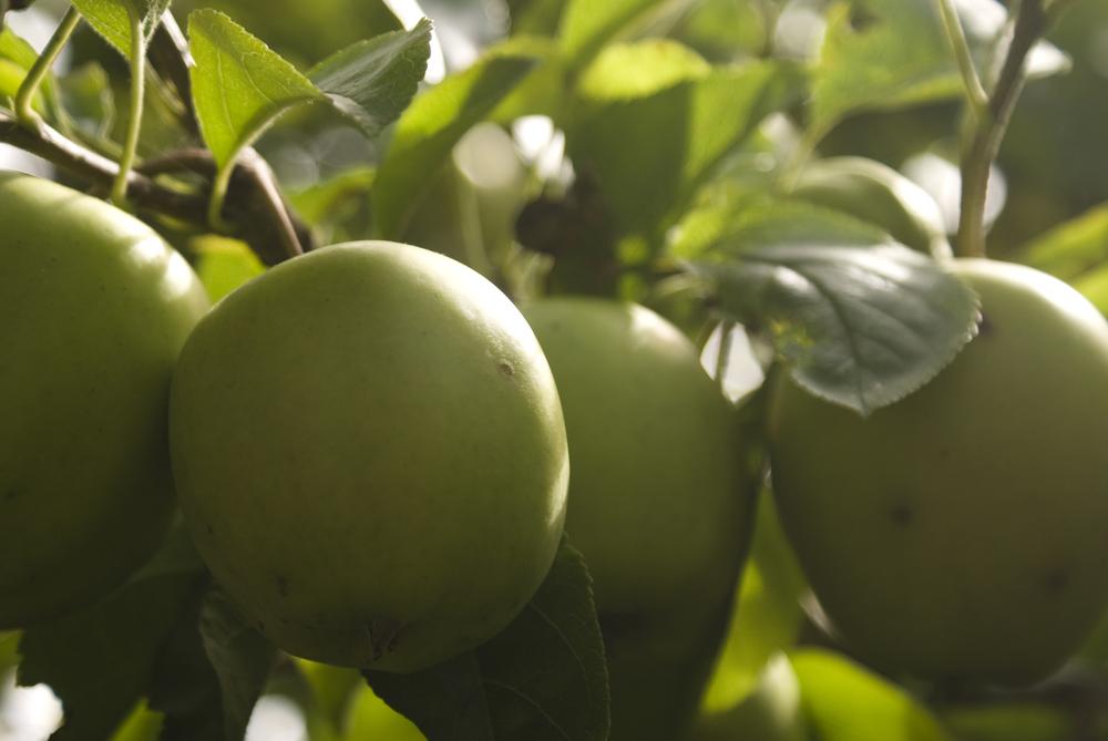 Apple's in JC's family garden
