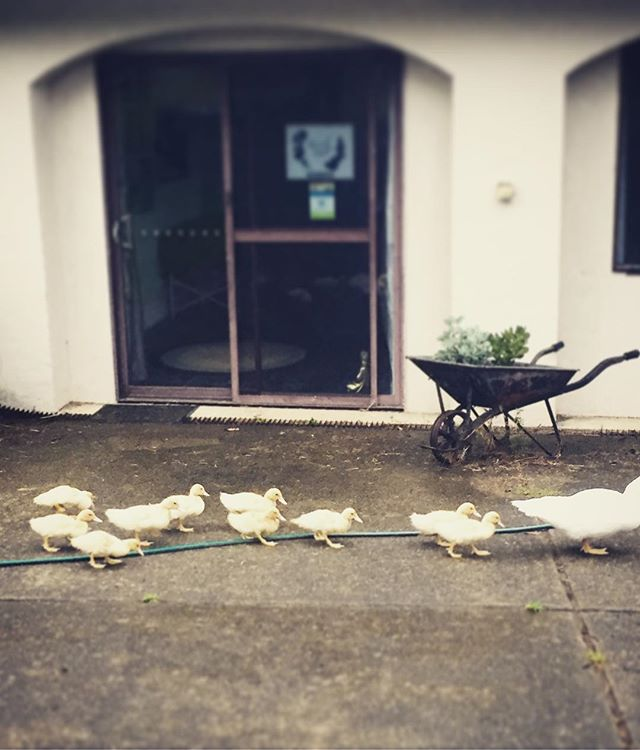 Duckling parade out the front of my clinic space in the rain yesterday 😍💕. Too much cuteness!