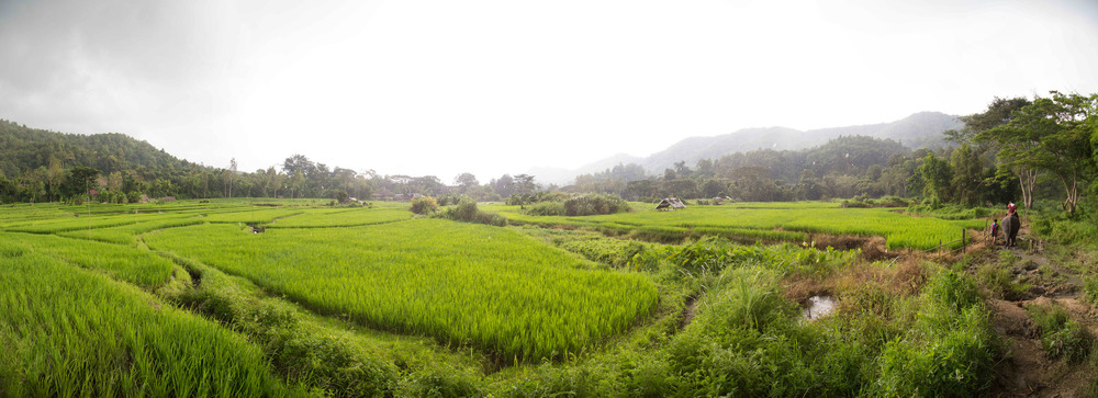 Paddy Fields, Chiang Mai