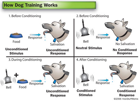 ivan pavlovs theory and experiments with dogs on conditioned behavioral responses He justifies this by appealing to the theory of evolution  pavlov is particularly  interested in animal behaviour called reflexes  don't become a mere recorder  of facts, but try to penetrate the mystery of their origin - ivan pavlov  pavlov  found that the conditioned dog started to salivate 9 seconds after hearing the  sound.