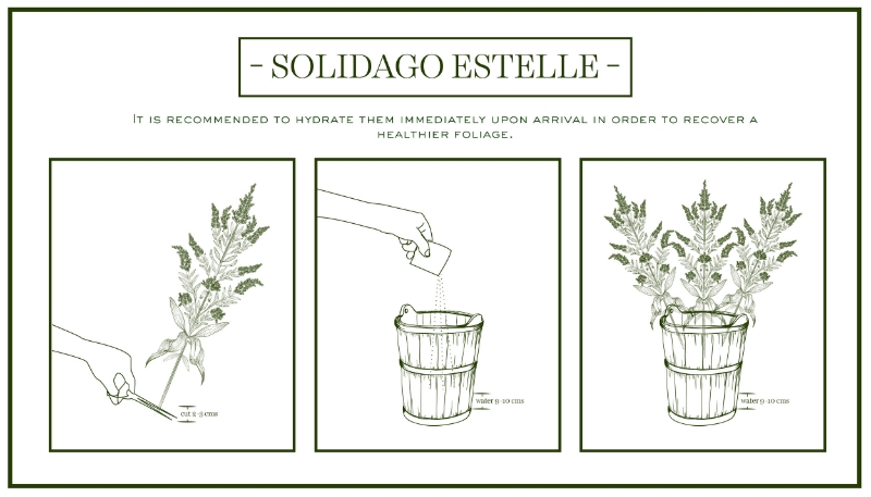 solidago-care&handling