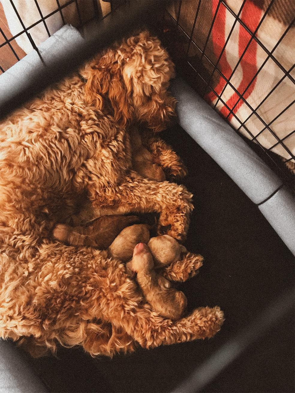 Nashville Goldendoodle labradoodle puppy Atlanta Birmingham Brentwood franklin Tennessee