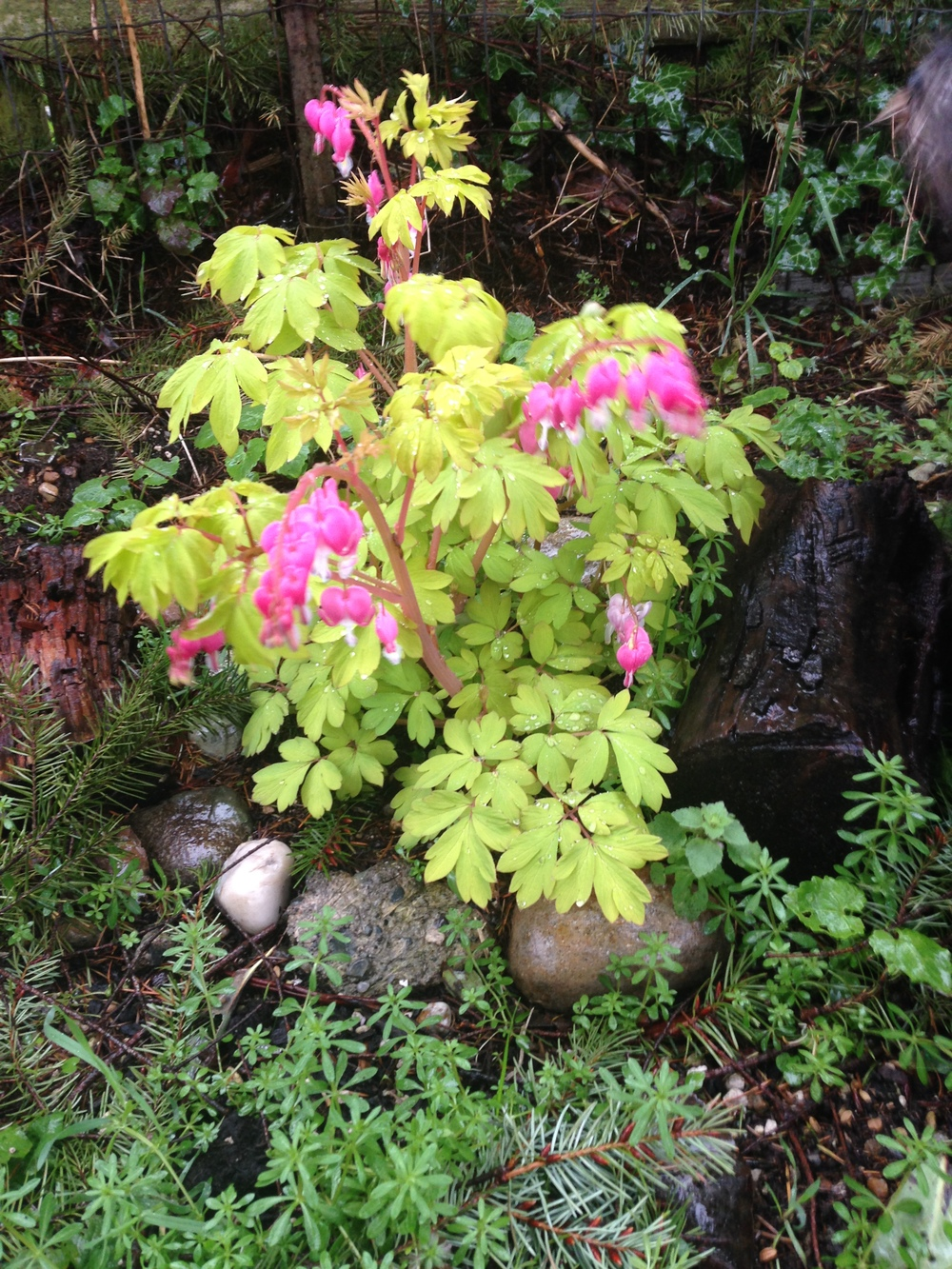 I have had this Bleeding Heart for over 5 years, it was in a pot for the past 4. I just planted it in the ground this past fall under a Douglas Fir in our back yard. I'll divide it this year.