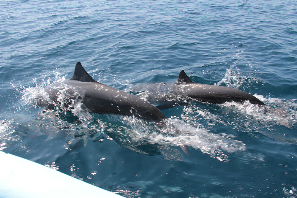 Huatulco Dolphins
