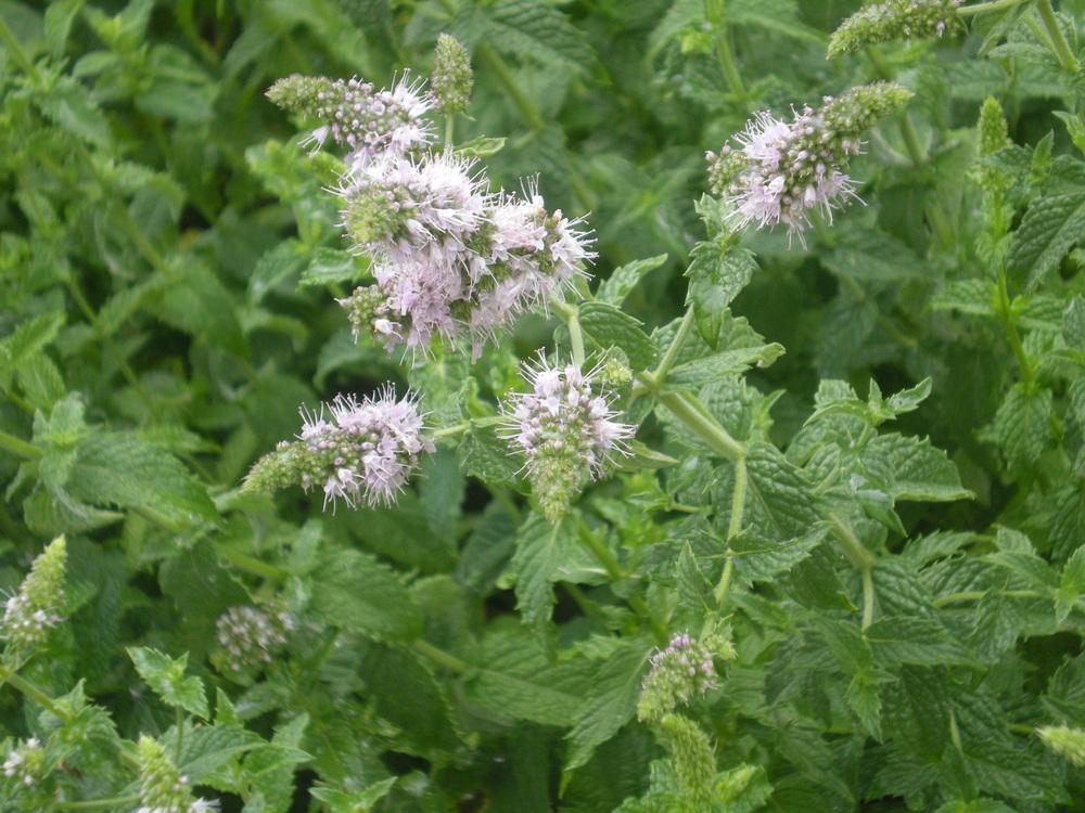 Peppermint in Bloom