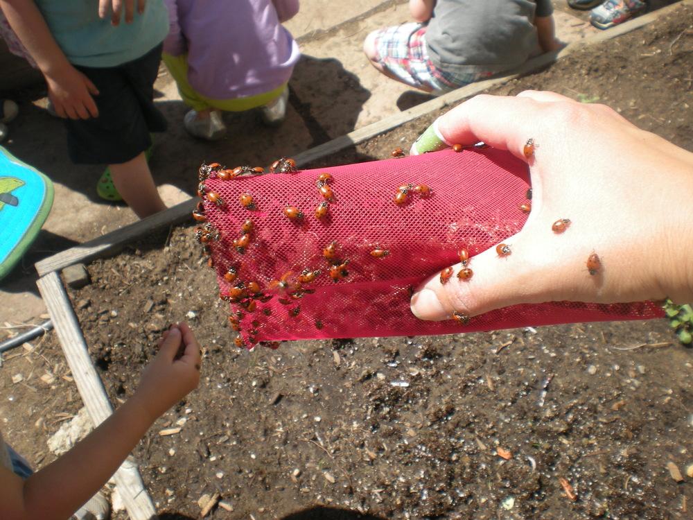 releasing lady bugs