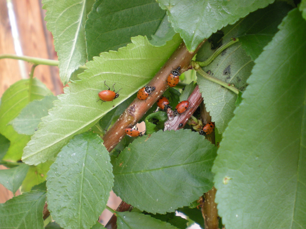 lady bugs in search of aphids