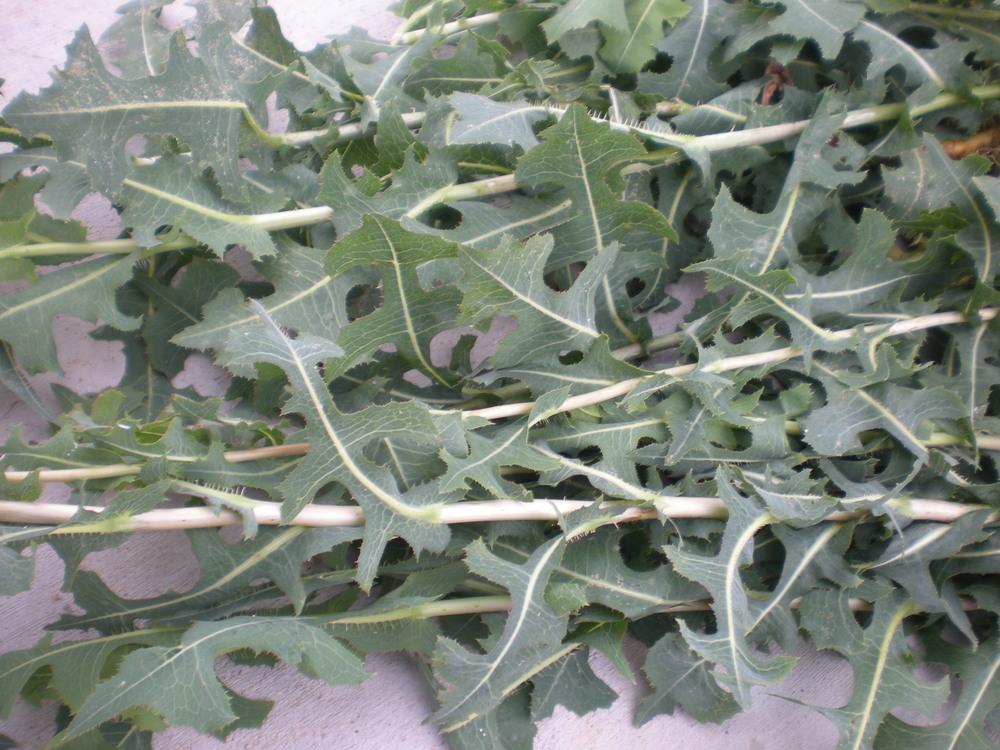 Wild lettuce harvest