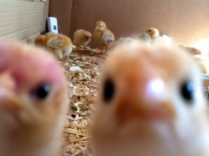 And for your daily dose of cute, Chicken Outtakes by Whole Fed Homestead