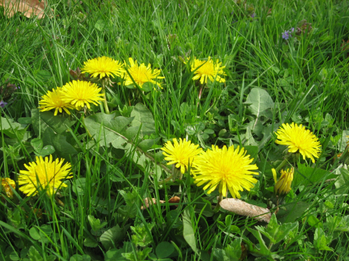 Teaching children about wild plants 4 summertime herbs an herb the flowers are bright yellow and fluffy changing into white seed heads that simply beg to be blown upon mightylinksfo