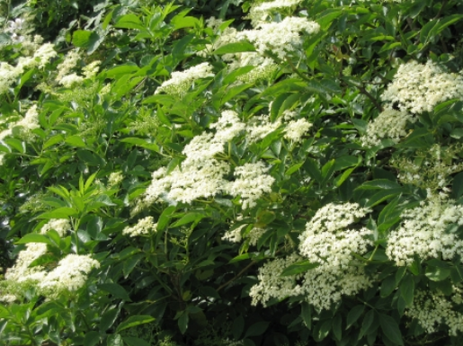 Beautiful Creamy White Elder Flowers In Bloom