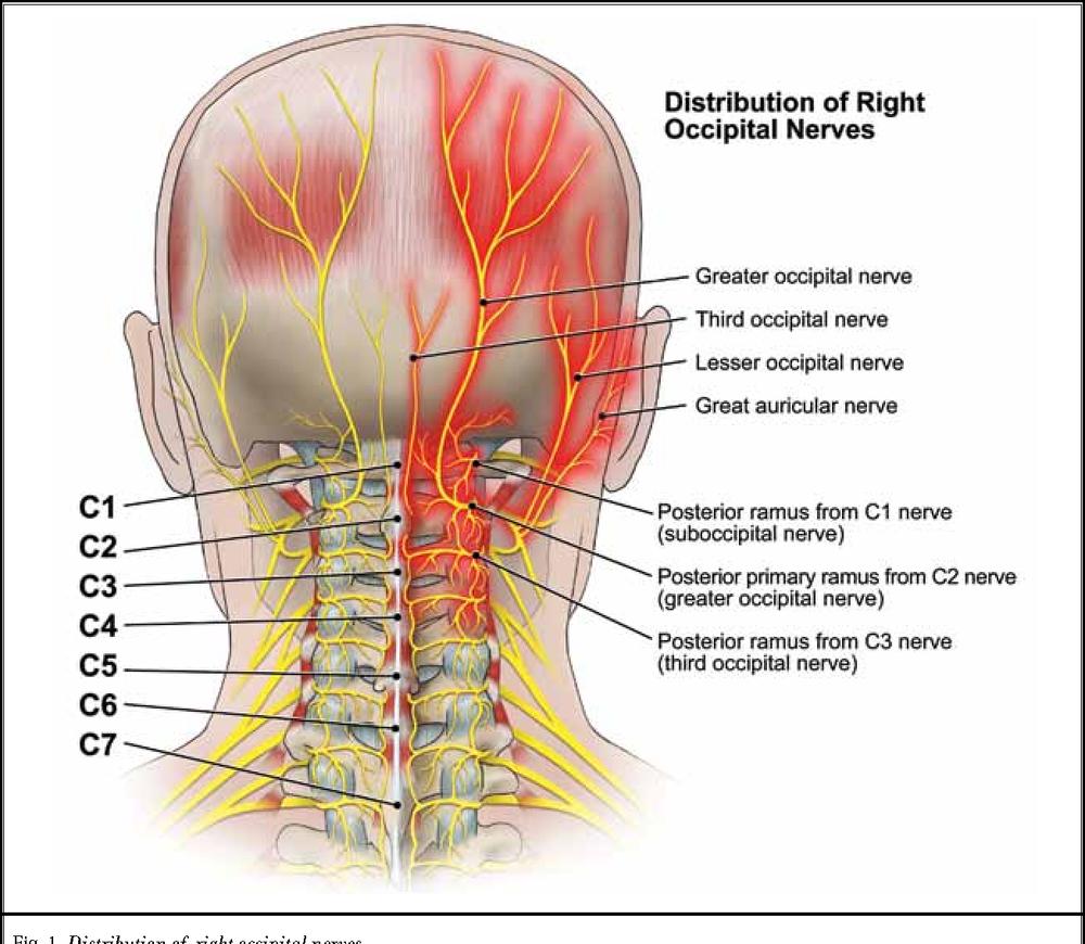 occipital.png