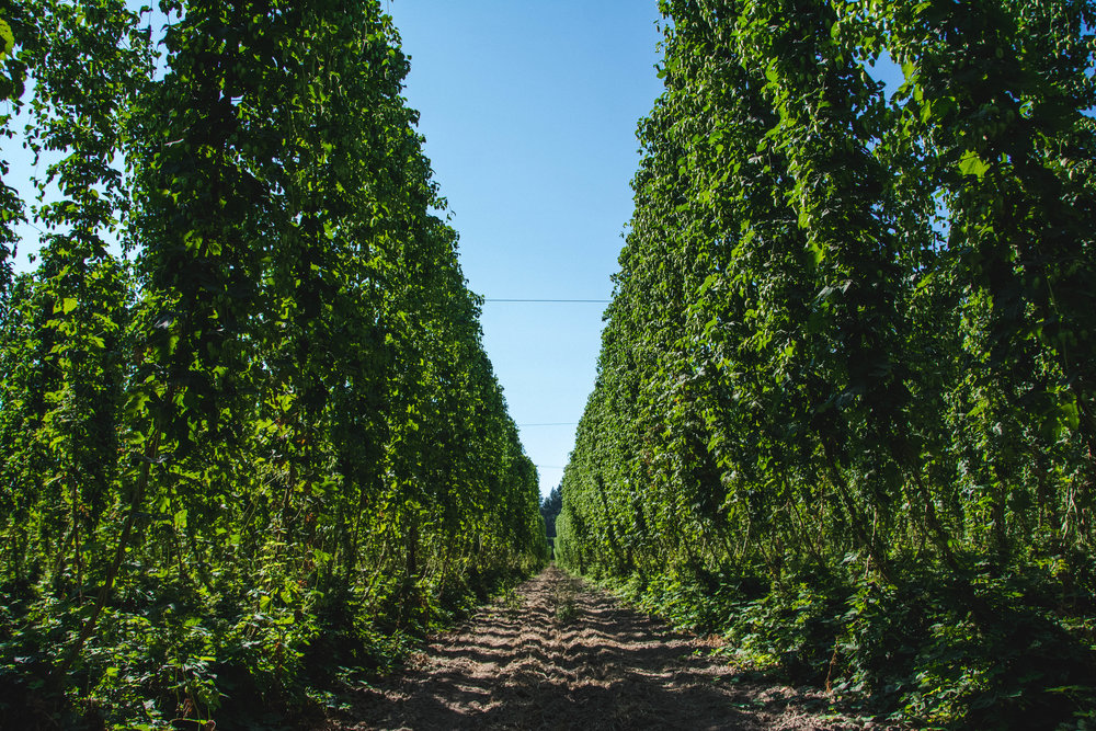 Hop Fields at Goschie Farms