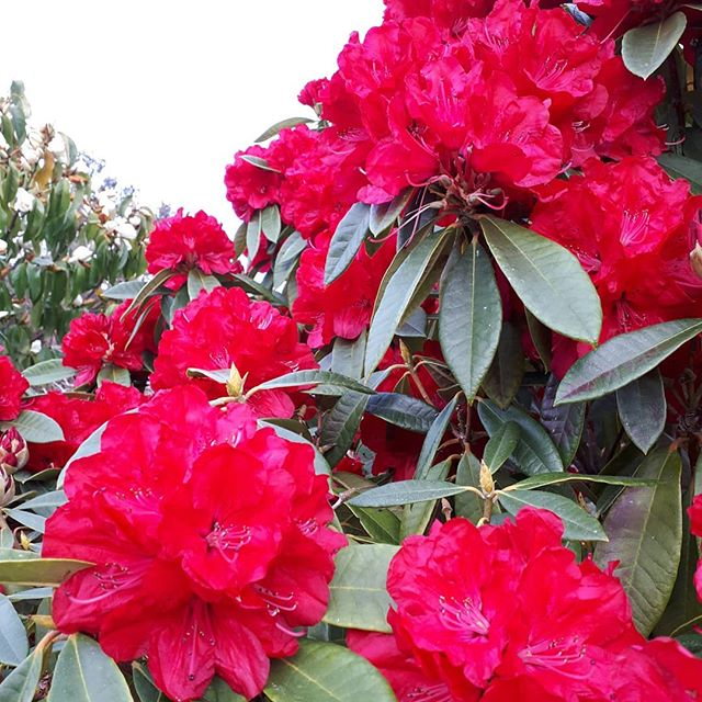 Big, luscious rhododendron blooms....Happy weekend!