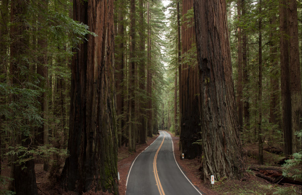 avenue of the giants.png