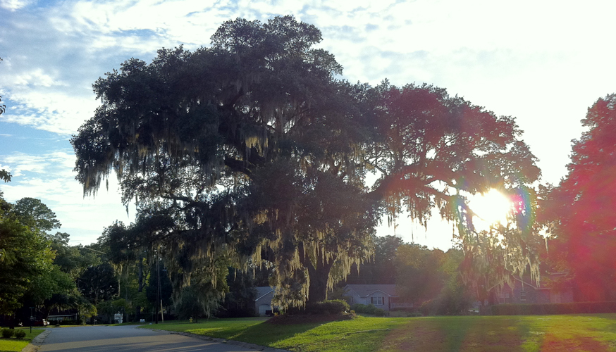 My walk through neighborhood in Charleston SC: Big Tree